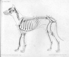 DogSkeleton